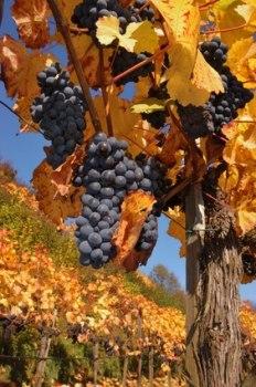 Weinseliger Herbst